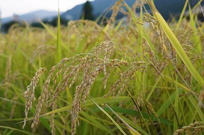 rice-togijiru01